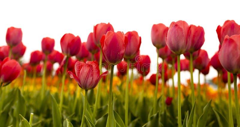 Tulipanes rojos hermosos en un fondo blanco imagenes de archivo