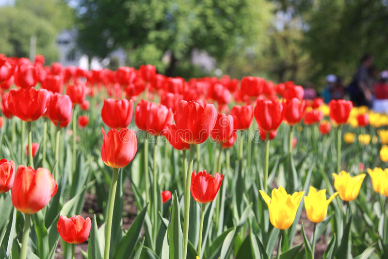 Tulipanes rojos Paisaje del resorte imágenes de archivo libres de regalías