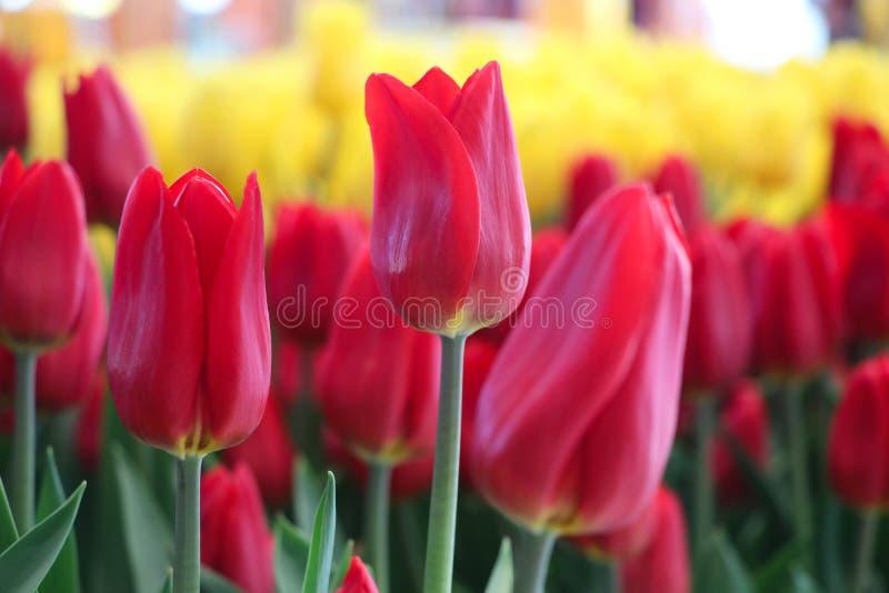 Tulipanes rojos y amarillos en la flor colorida del jardín en fondo de la naturaleza imagenes de archivo