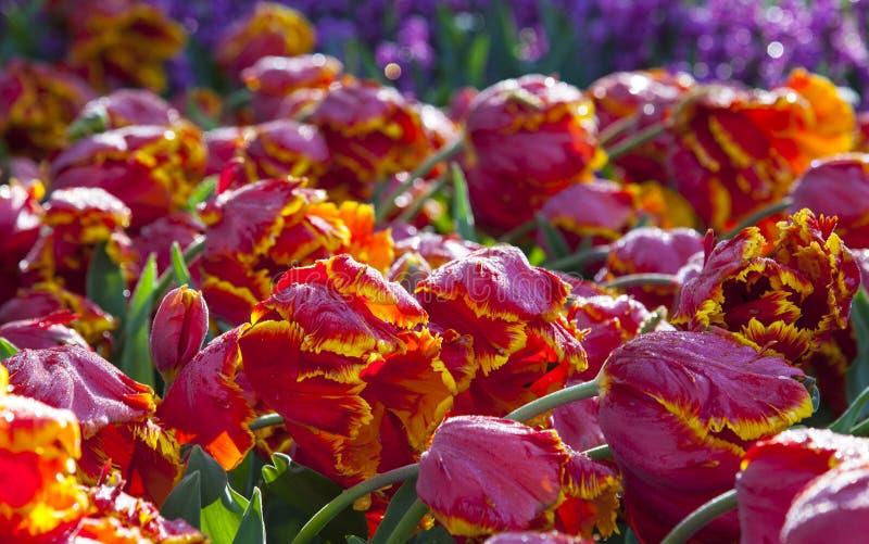 Tulipanes rojos y amarillos, Keukenhof, los Países Bajos imágenes de archivo libres de regalías