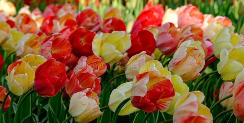 Tulipanes rojos y amarillos vivos del color en los jardines de Keukenhof, Lisse, Holanda Meridional Fotografiado en el alto rango fotografía de archivo libre de regalías