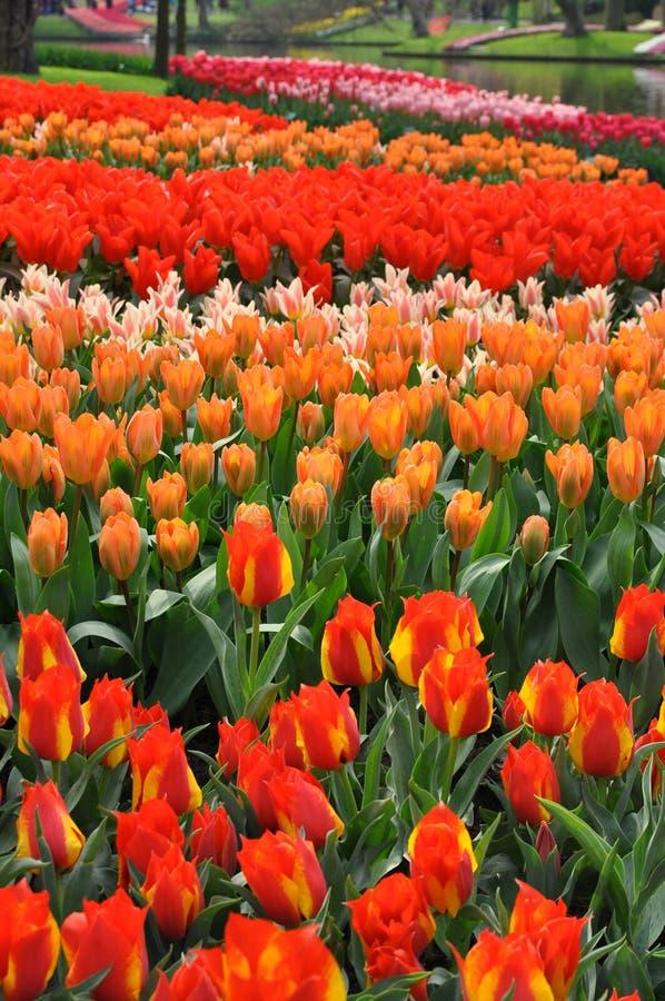 Tulipanes rojos y anaranjados imagenes de archivo