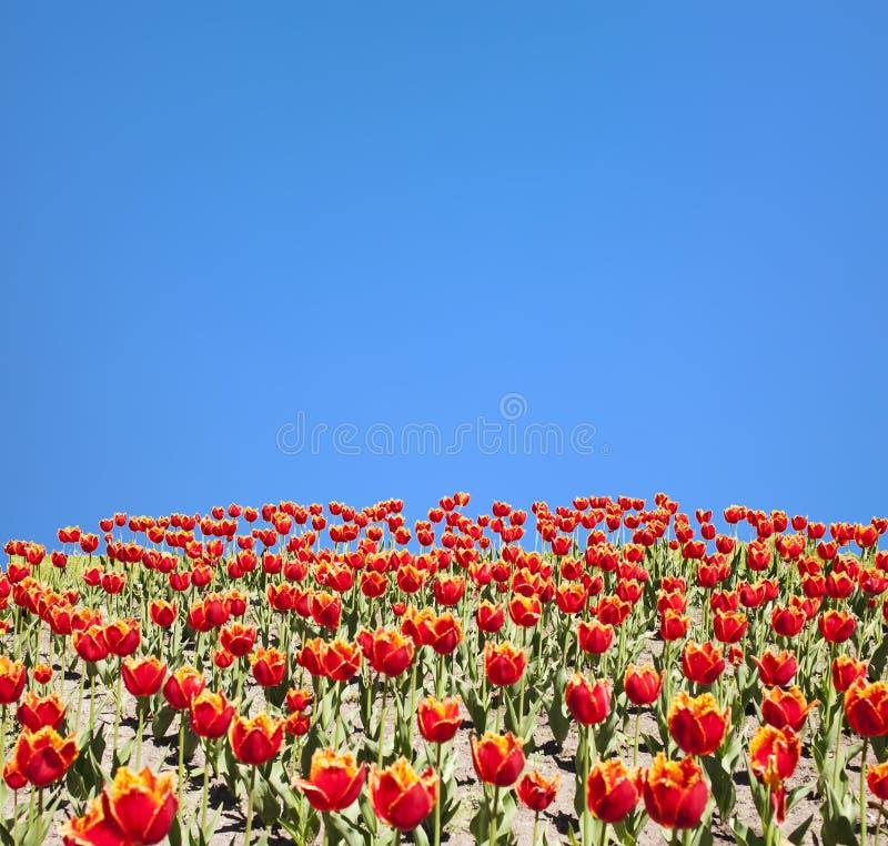 Tulipanes rojos y cielo azul foto de archivo libre de regalías