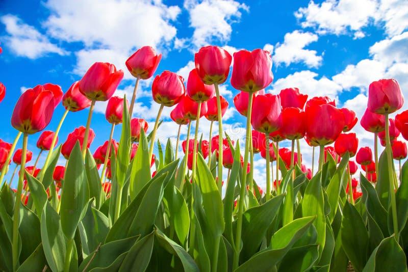 Tulipanes rojos y cielo azul, día de primavera soleado imagen de archivo libre de regalías