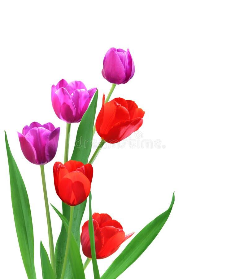 Tulipanes rojos y púrpuras fotografía de archivo