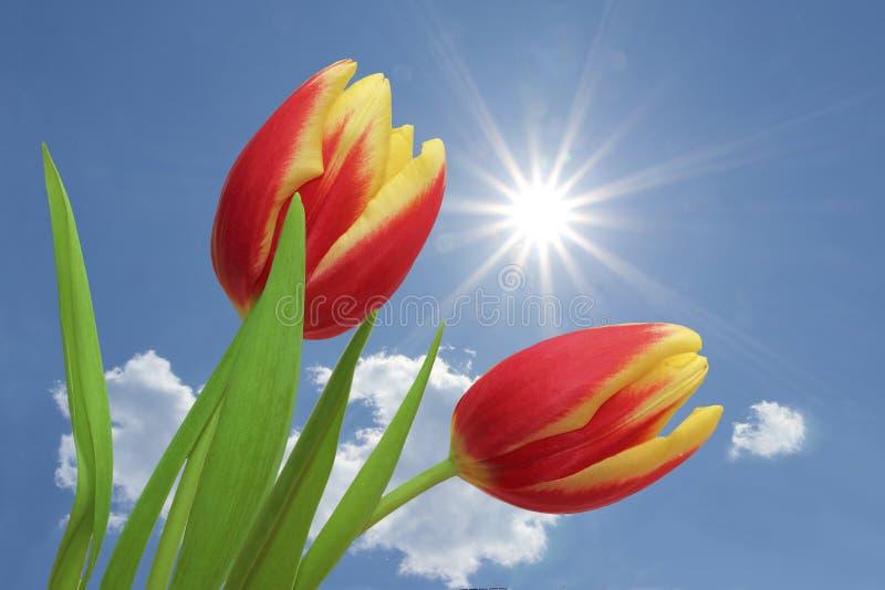 Tulipanes rojos y rayado amarillo, contra el cielo azul con las nubes imagen de archivo