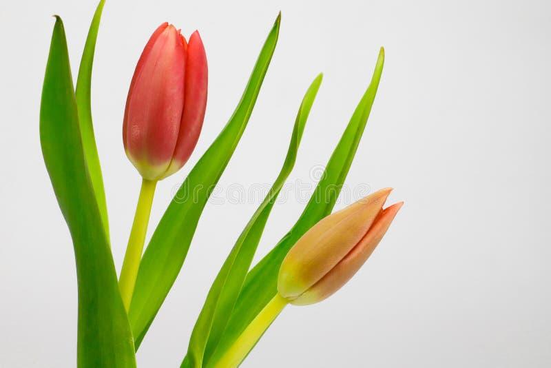 Tulipanes rojos y rosados fotos de archivo