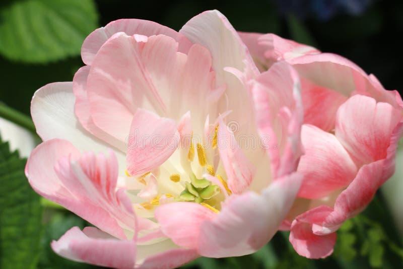 Tulipanes rosados abigarrados imagen de archivo libre de regalías