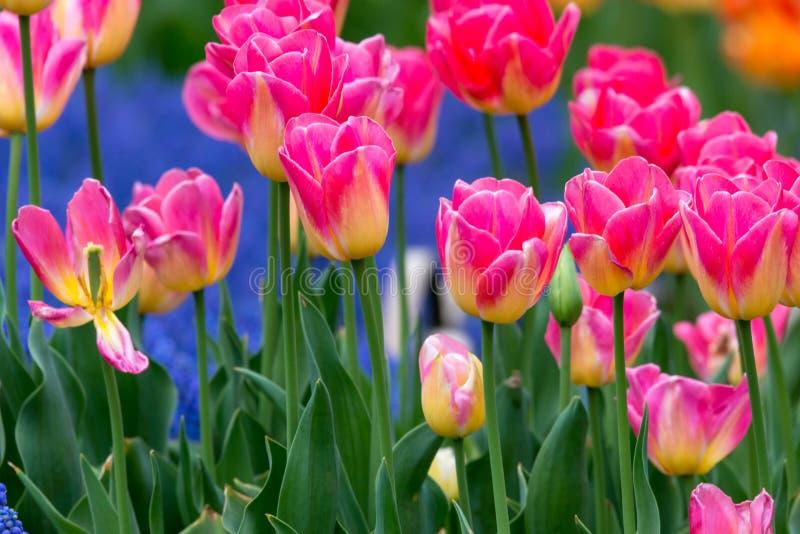 Tulipanes rosados amarillos del dragón de vuelo fotos de archivo libres de regalías