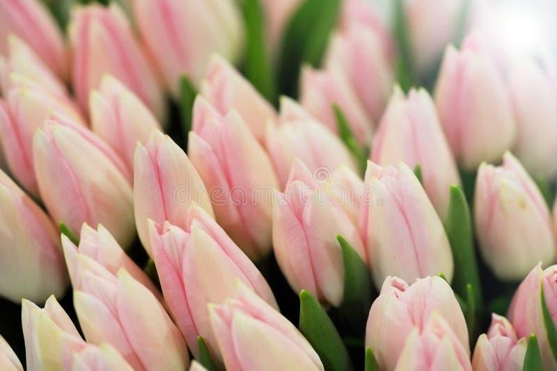 Tulipanes rosados cerrados fotos de archivo