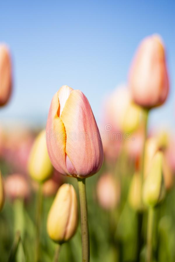 Tulipanes rosados con el cielo azul y las flores coloridas borrosas en la vertical del fondo fotos de archivo libres de regalías