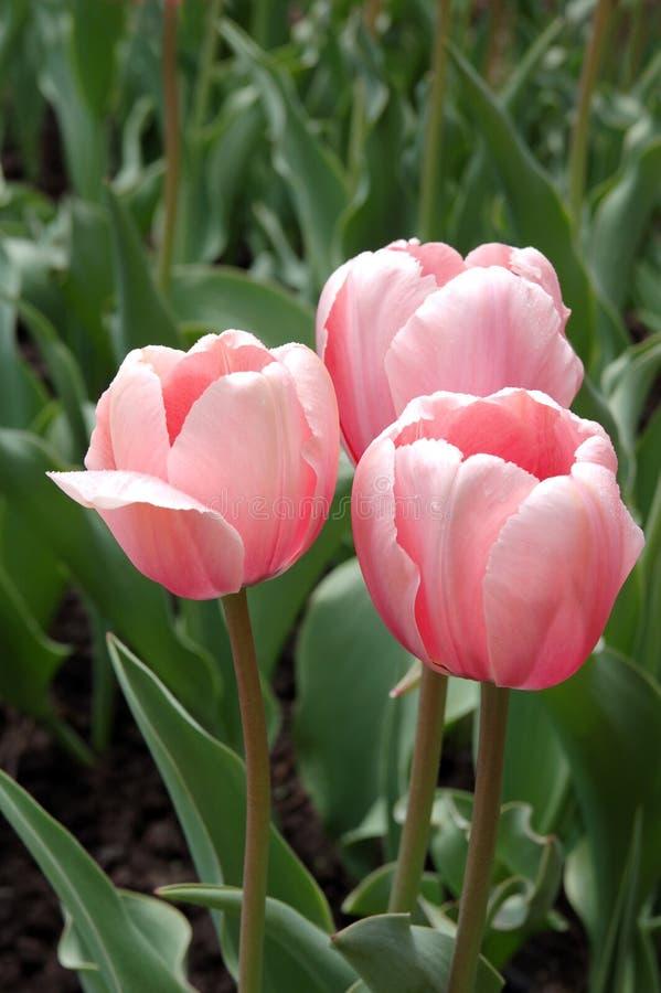 Tulipanes rosados del resorte fotos de archivo