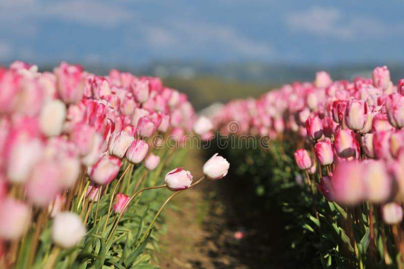 Tulipanes rosados en campo de granja del valle del skagit fotos de archivo libres de regalías