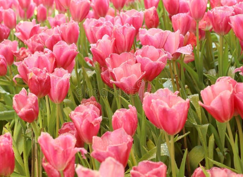 Tulipanes rosados en el jardín fotos de archivo