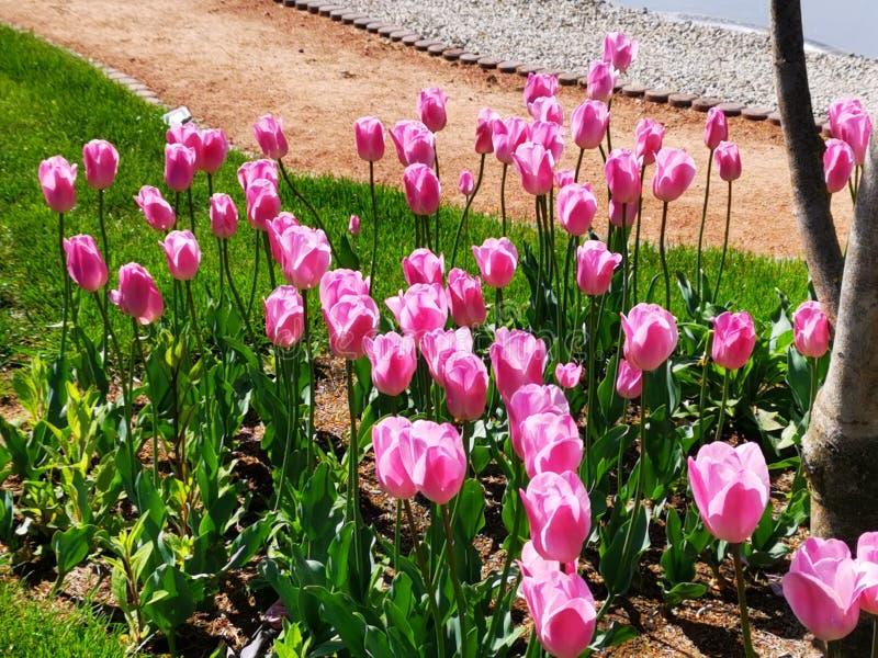 Tulipanes rosados en el jard?n fotos de archivo