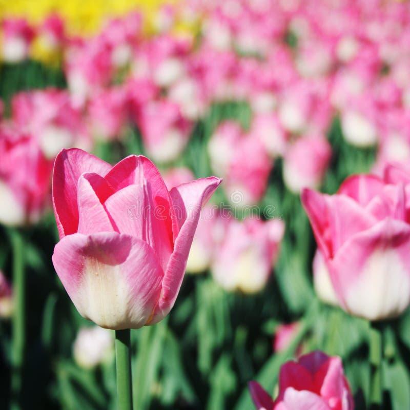 Tulipanes rosados en el macizo de flores Foto envejecida Macro imagen de archivo libre de regalías