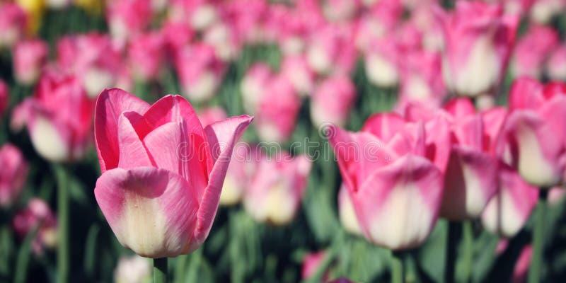Tulipanes rosados en el macizo de flores Foto envejecida Macro foto de archivo