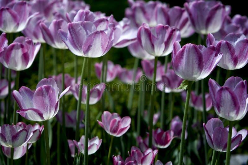 Tulipanes rosados en jardín fotos de archivo