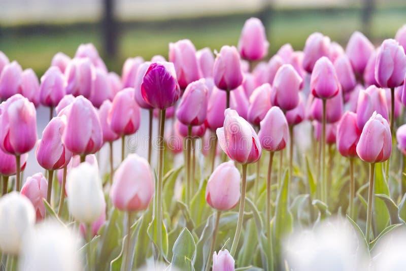 Tulipanes rosados en la luz de la mañana, jardín Stromovka de la primavera en Praga fotografía de archivo