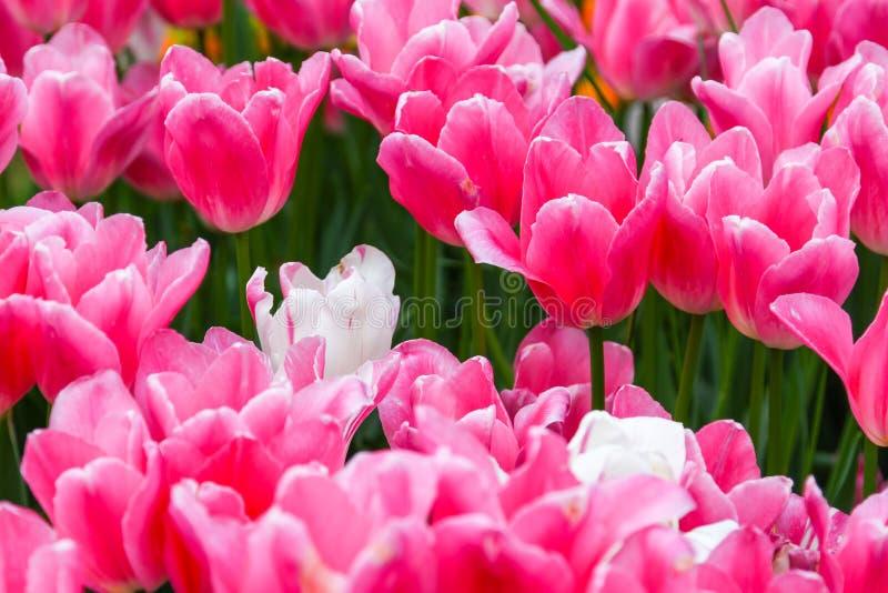 Tulipanes rosados en un jardín foto de archivo