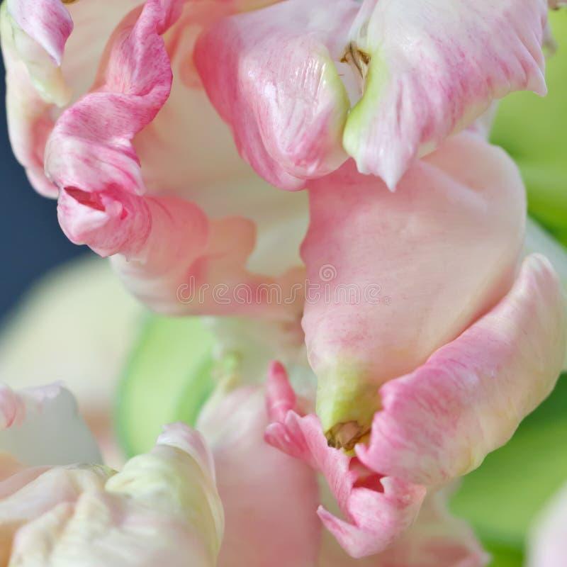 Primer de los tulipanes imagen de archivo