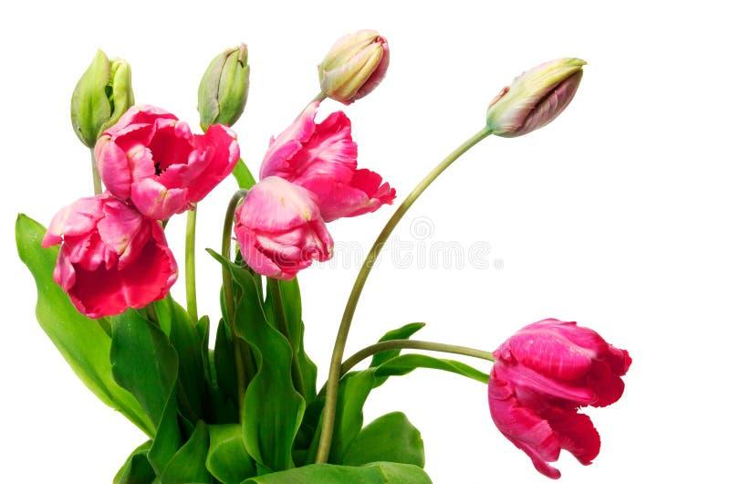 Tulipanes rosados frescos en el fondo blanco fotos de archivo