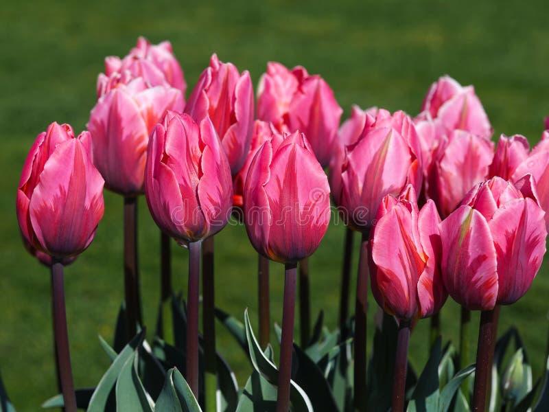 Tulipanes rosados hermosos, de la variedad princesa bastante imagenes de archivo