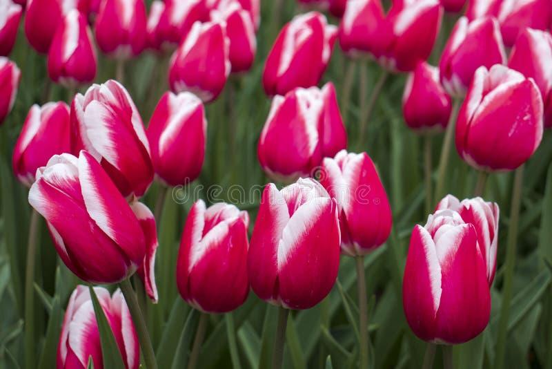 Tulipanes rosados hermosos en el parque imágenes de archivo libres de regalías