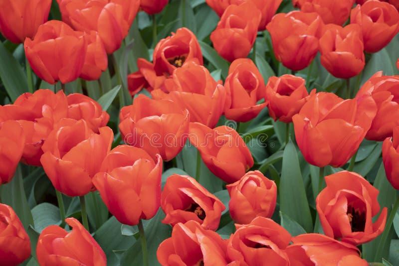 Tulipanes rosados hermosos en el parque imagen de archivo