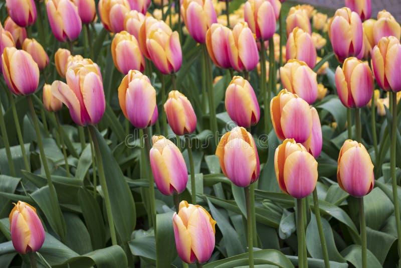 Tulipanes rosados hermosos en el parque fotografía de archivo libre de regalías
