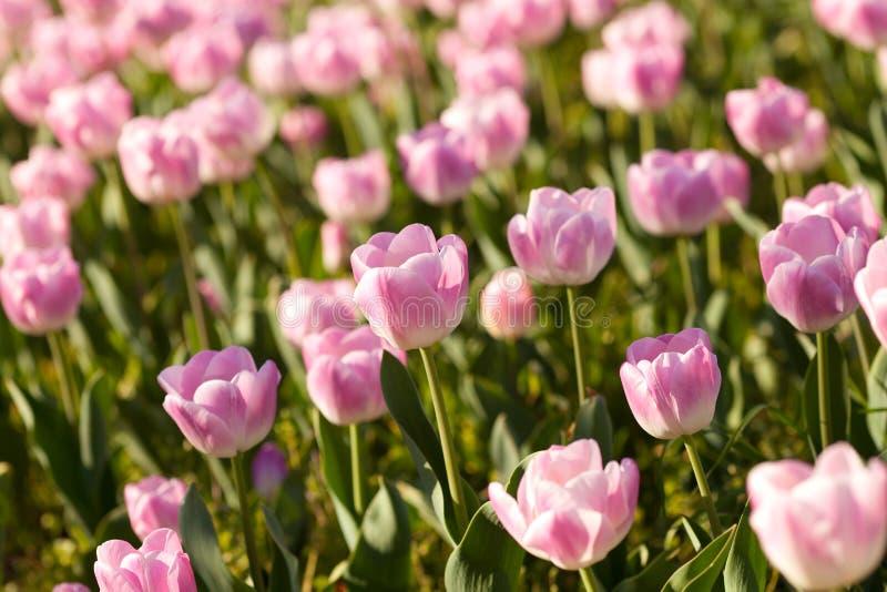 Tulipanes rosados hermosos en el tiempo de primavera foto de archivo libre de regalías