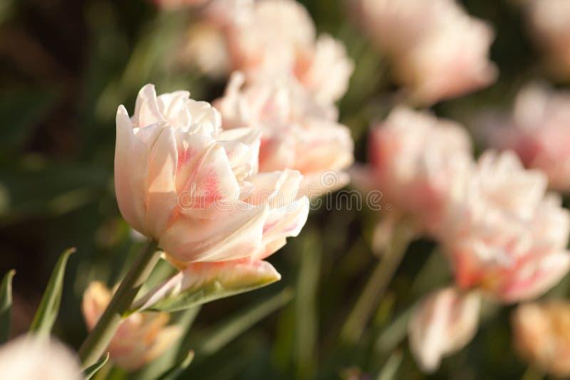 Tulipanes rosados hermosos en el tiempo de primavera imágenes de archivo libres de regalías