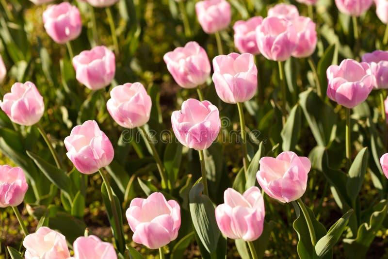 Tulipanes rosados hermosos en el tiempo de primavera fotos de archivo