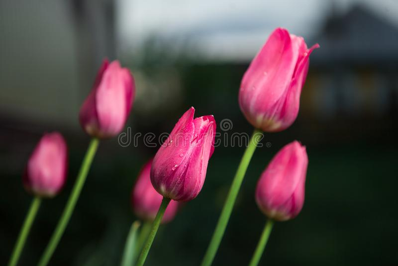Tulipanes rosados hermosos en fondo de la naturaleza Apenas llovido encendido imágenes de archivo libres de regalías