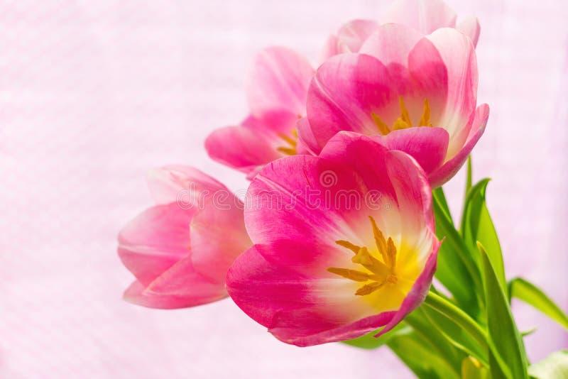 Tulipanes rosados hermosos, encendidos brillantemente por la luz del sol a través de las persianas y de la tela del color rosado  imagenes de archivo