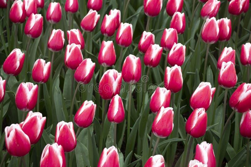 Tulipanes rosados hermosos y frescos en el parque fotografía de archivo