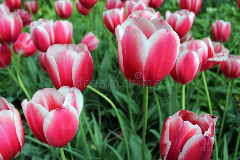 Tulipanes rosados - rosas de Tulipanes foto de archivo