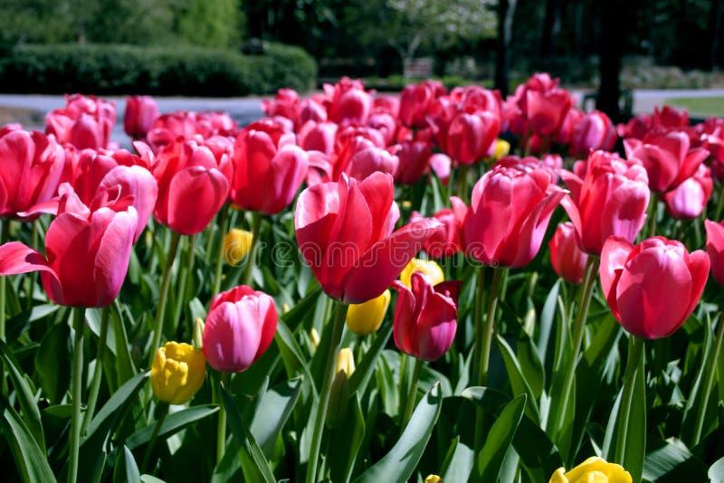 Tulipanes - saludos de la flor imagenes de archivo