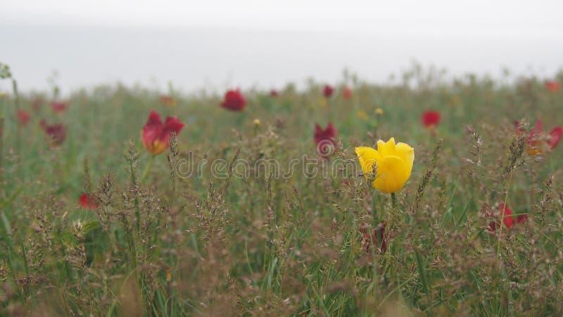 Tulipanes salvajes en el campo foto de archivo