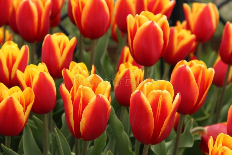 Tulipanes salvajes en sombras rojas y amarillas foto de archivo libre de regalías