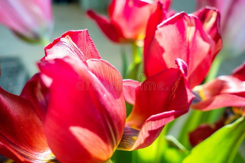 Tulipanes soñadores hermosos imagenes de archivo