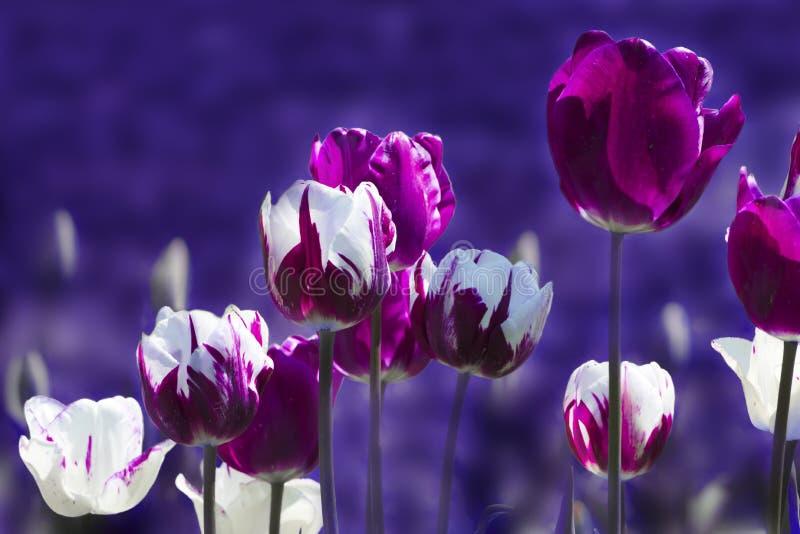 Tulipanes ultravioletas y blancos en primavera con el fondo borroso fotografía de archivo