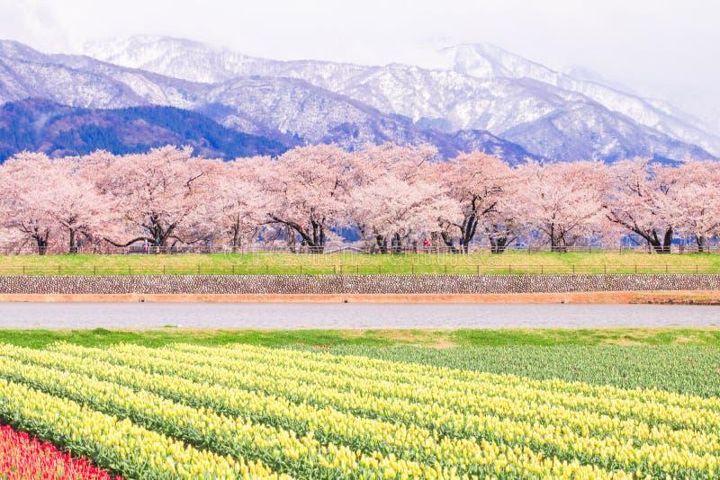 Tulipanes y árboles o Sakura de la flor de cerezo con el Al japonés fotografía de archivo