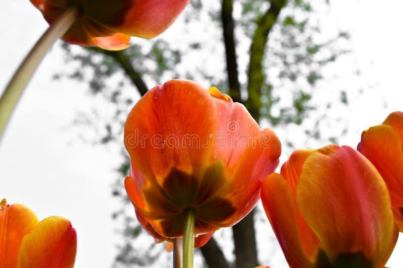 Tulipanes y bosque espectaculares anaranjados en la primavera fotografía de archivo