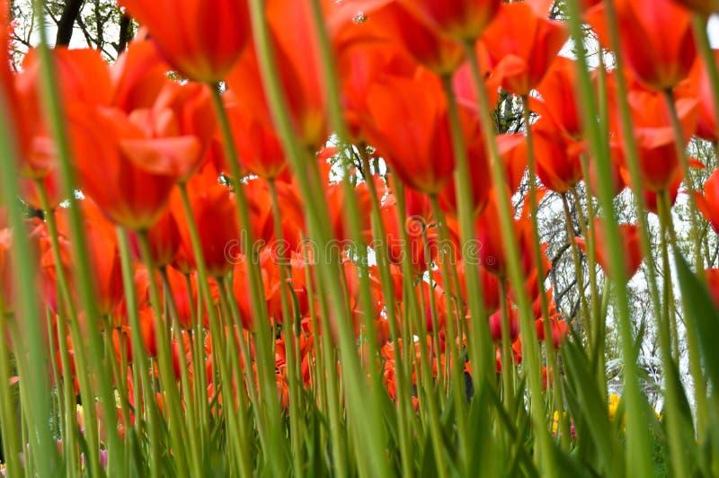 Tulipanes y bosque espectaculares anaranjados en la primavera fotografía de archivo libre de regalías