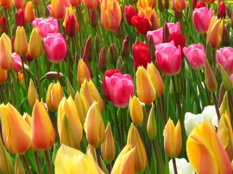Tulipanes y brotes diversos rojos amarillos del tulipán que sorprenden que florecen en un parque fotos de archivo