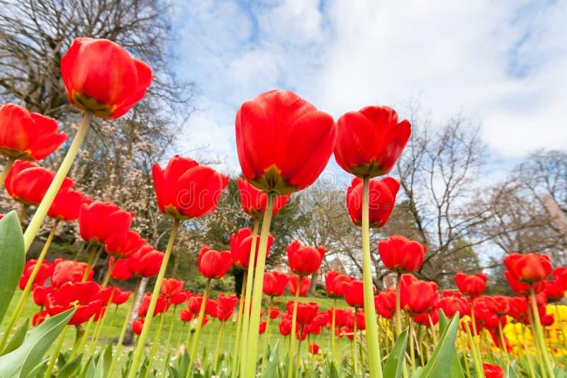 Tulipanes y cielo rojos en el parque foto de archivo