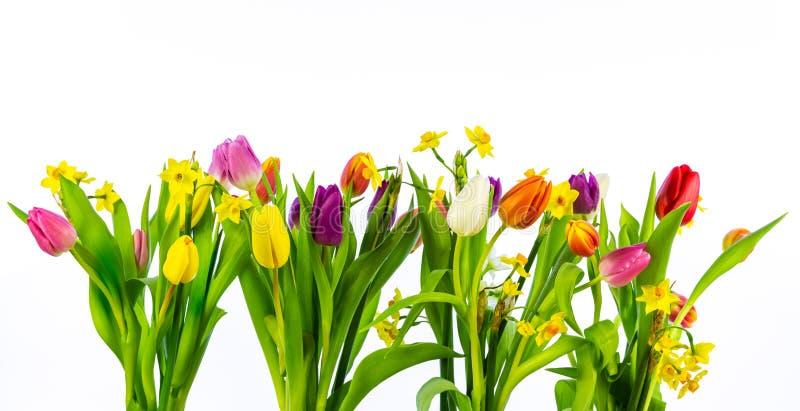 Tulipanes y narcisos aislados en el fondo blanco Imagen de alta resolución fotografía de archivo