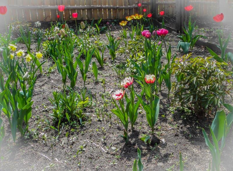 Tulipanes y narcisos de las flores de la primavera en el jardín en el suelo foto de archivo libre de regalías