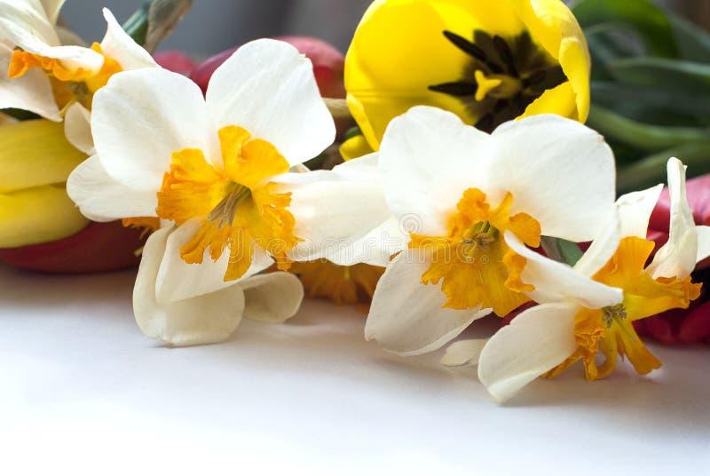 Tulipanes y narcisos hermosos de la primavera fotografía de archivo libre de regalías